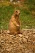 Prairie Dog on Al...