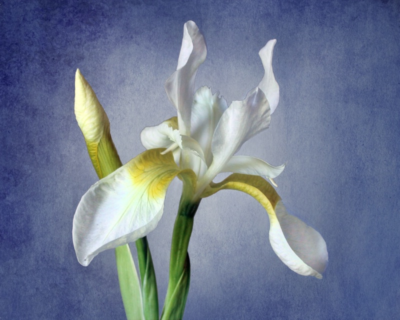 White Iris on Blue