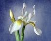 White Iris on Blu...