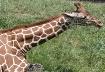 Baby Giraff  Chew...