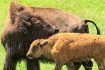 Bison mother and ...