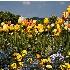 © Endre Balogh PhotoID # 12018202: Spring Flowers