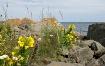 Shoreline Wildflo...