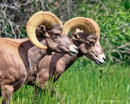 Rocky Mtn. Bighorn Sheep