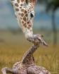 Newborn Giraffe 0...