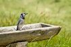Country Blue jay