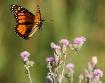 Monarch in flight...
