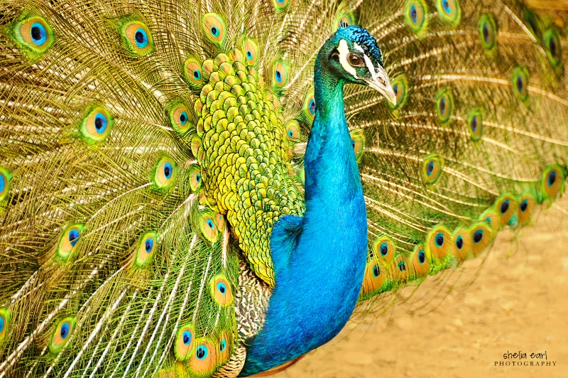 Peacock #1 - ID: 12082000 © Shelia Earl
