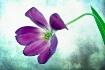 Last Day Tulip