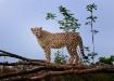 Cheetah - Indiana...