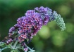 Butterfly Bush Fl...