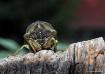 Summertime Cicada