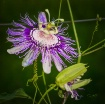 Passion Flower, &...