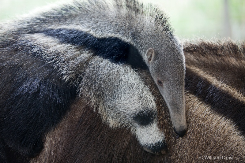 Giant Anteater-Mymecophaga tridactyla - ID: 12147914 © William Dow