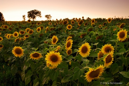 'Dusk Upon the Sunflower Field'