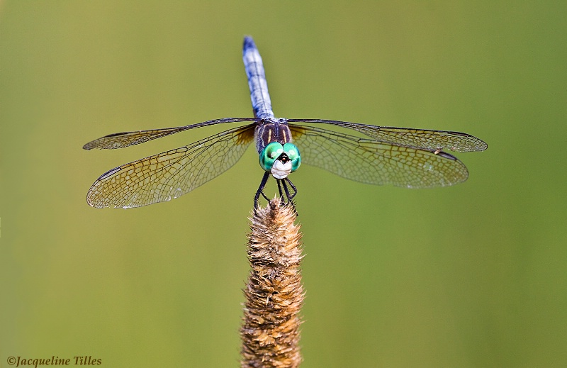 Blue Dasher Dragonfly - ID: 12159690 © Jacqueline A. Tilles