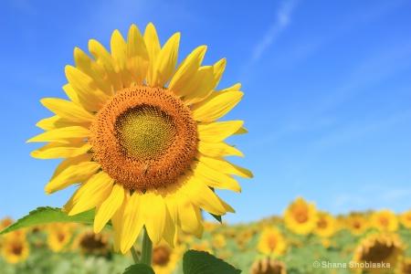 smiling-sunflower 0945