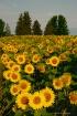 'In a Field o...