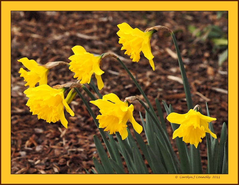 * Golden Daffodils *<p>