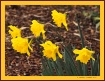 * Golden Daffodil...