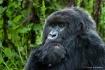Mountain Gorilla ...
