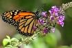 Migrating Monarch...