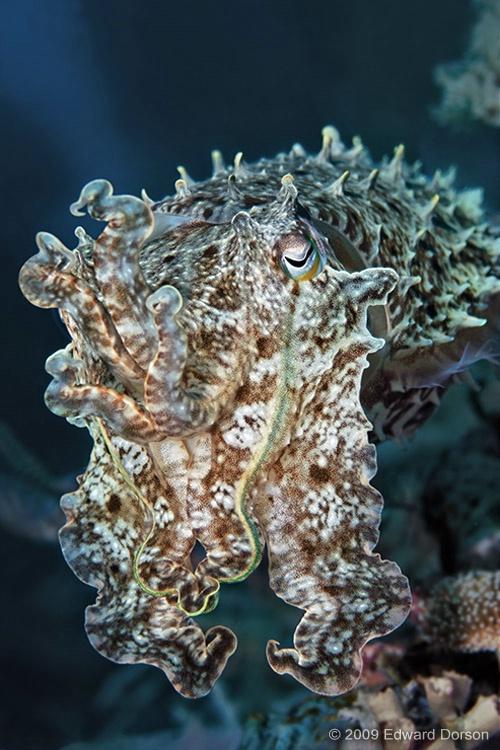 Cuttlefish - ID: 12266826 © Edward Dorson