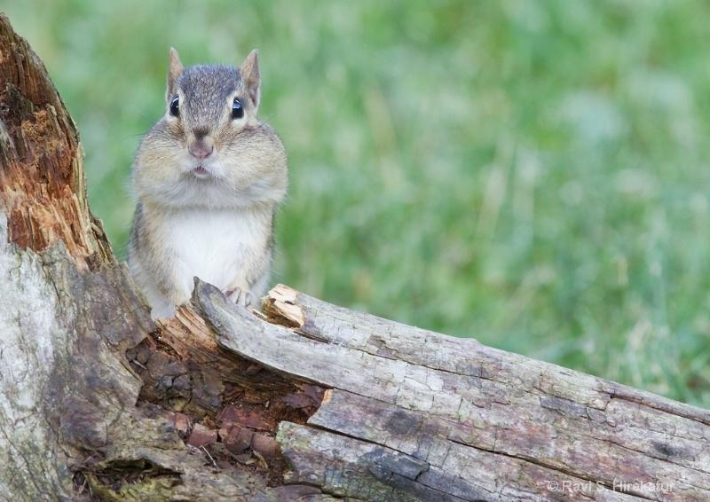 Chipmunk with mouthful - ID: 12274496 © Ravi S. Hirekatur