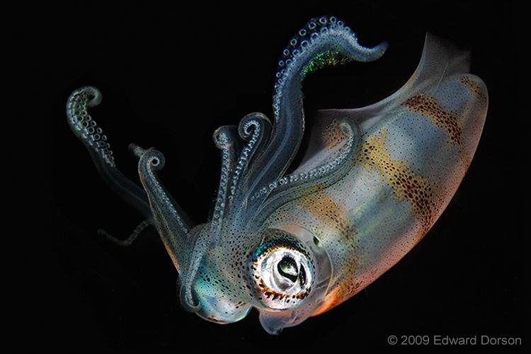 Squid at Night - ID: 12274700 © Edward Dorson