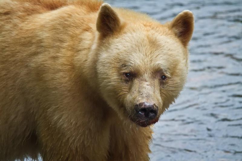 Spirit Bear Portrait - ID: 12284193 © Karen Celella
