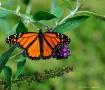 Last Butterfly of...