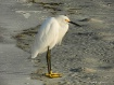 Egret on the Beac...