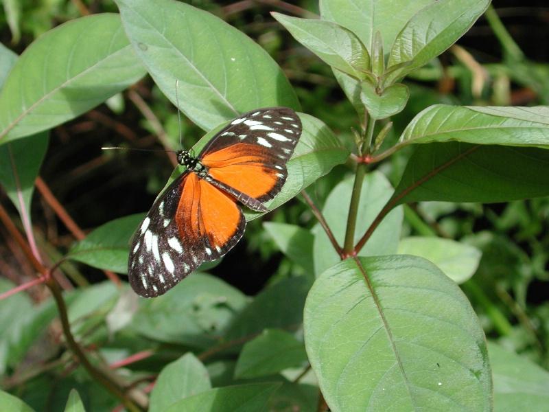 belize butterfly orange - ID: 12289275 © Jannalee Muise
