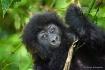 Baby Gorilla 005