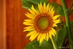 Sunflower on Stag...