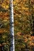 Birch Tree in the...