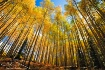 The Mighty Aspens
