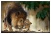 Male Lion & his c...