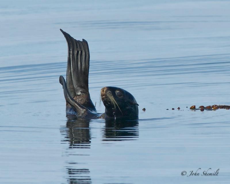 Northern Fur Seal - Oct. 2nd, 2011 - ID: 12326560 © John Shemilt