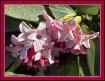 * Shades of Pink ...