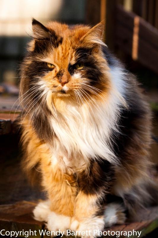 Calico Queen   - ID: 12370991 © Wendy A. Barrett
