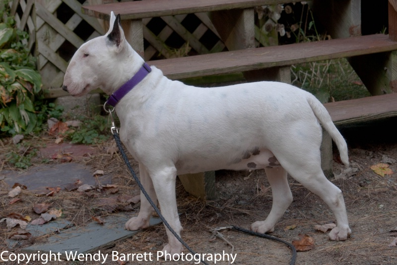 Show dog wannabe - ID: 12371067 © Wendy A. Barrett