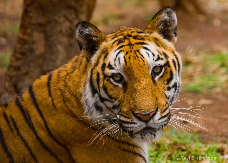 Tiger - ID: 12371360 © Ravi S. Hirekatur
