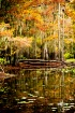 Cypress Trees in ...