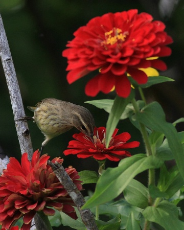 Palm Warbler in the Flowers