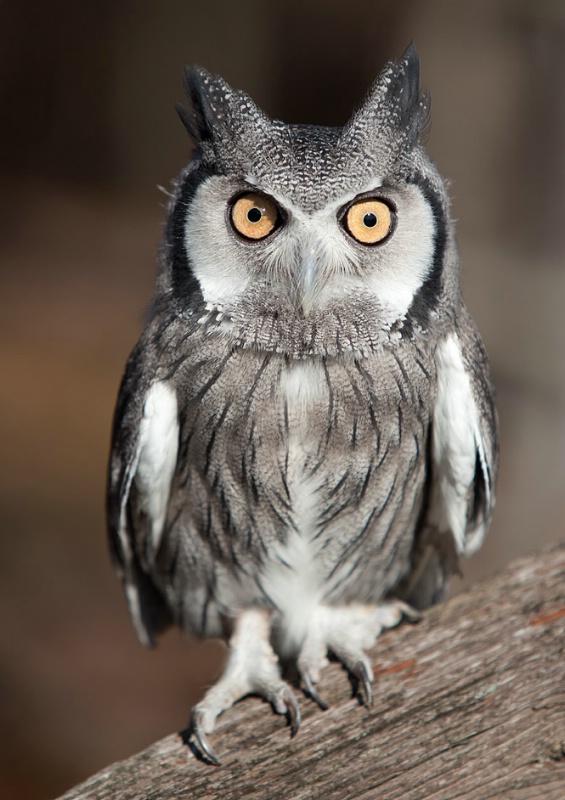 African Scop Owl