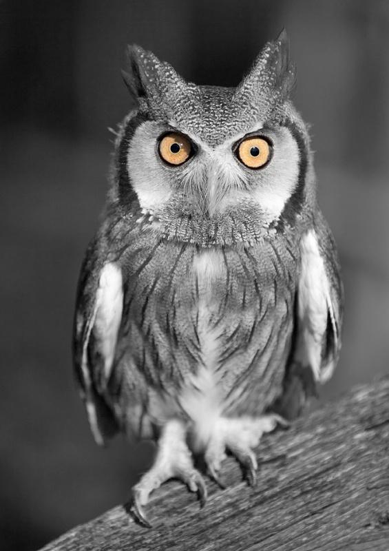 African Owl