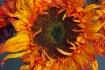 Sunflower Spectac...