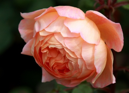 A rose from London