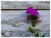 Purple Petals On ...